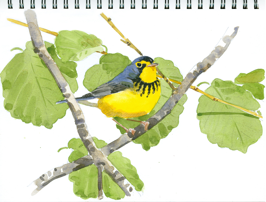 Canada Warbler in Witch-hazel, High Ledges - at 72 dpi