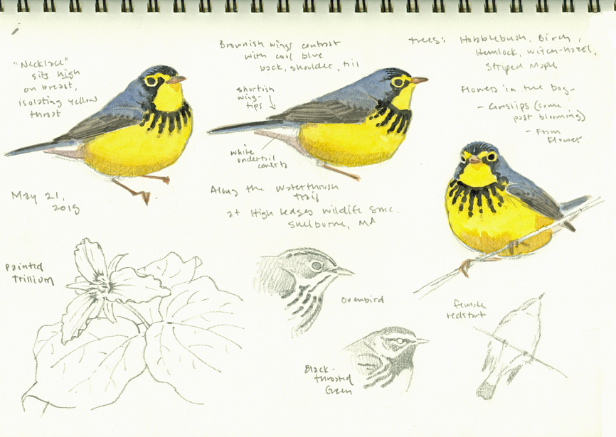 Canada Warbler studies, High Ledges - at 72 dpi