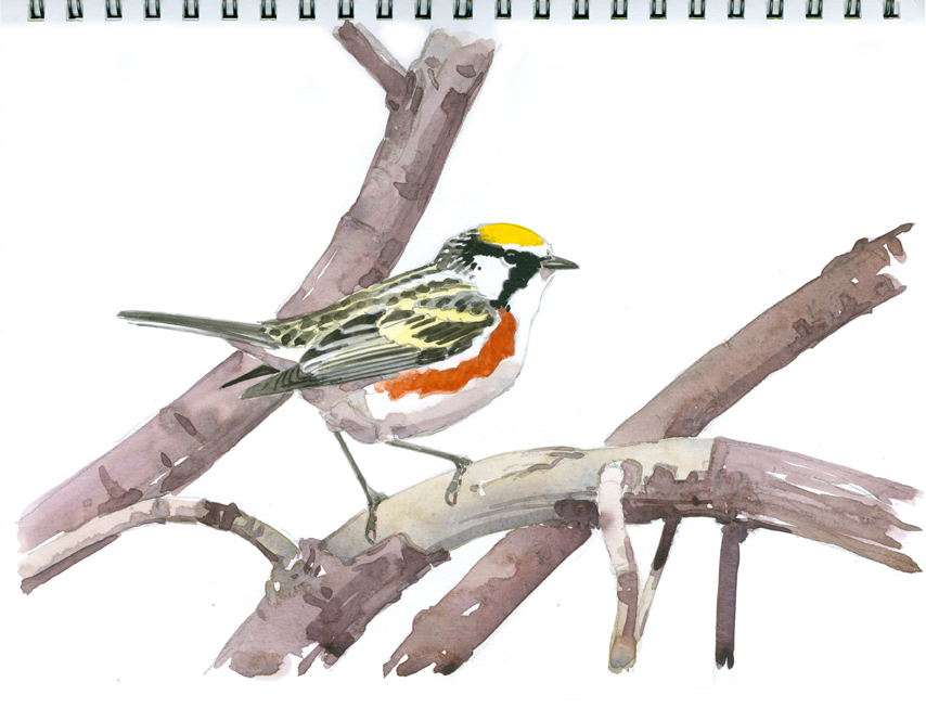Chestnut-sided Warbler, Wachusett Meadow - at 72 dpi