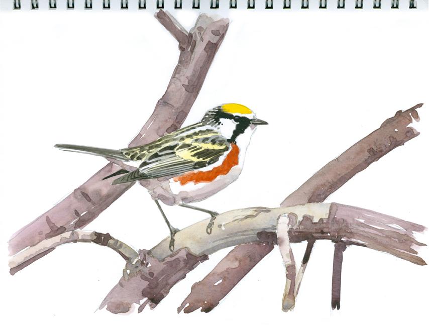 Chestnut-sided Warbler, Wachusett Meadow - at 72 dpi