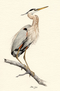 Great Blue Heron, John Sills, Copyright Mass Audubon