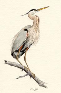 Great Blue Heron, John Sills, Copyright Mass Audubon