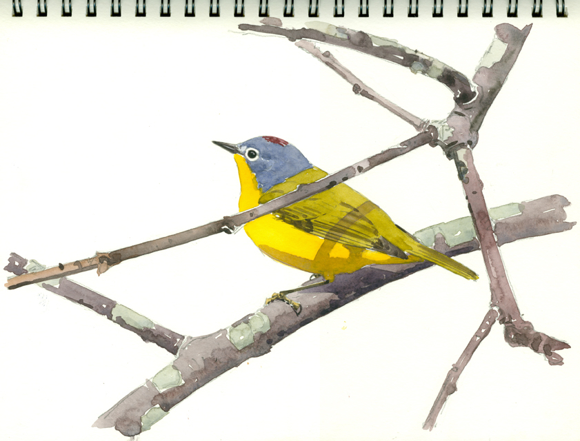 Nashville Warbler, Wachusett Meadow - at 72 dpi