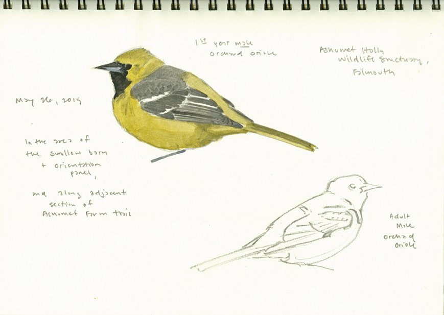 Orchard Oriole studies, Ashumet - at 72 dpi