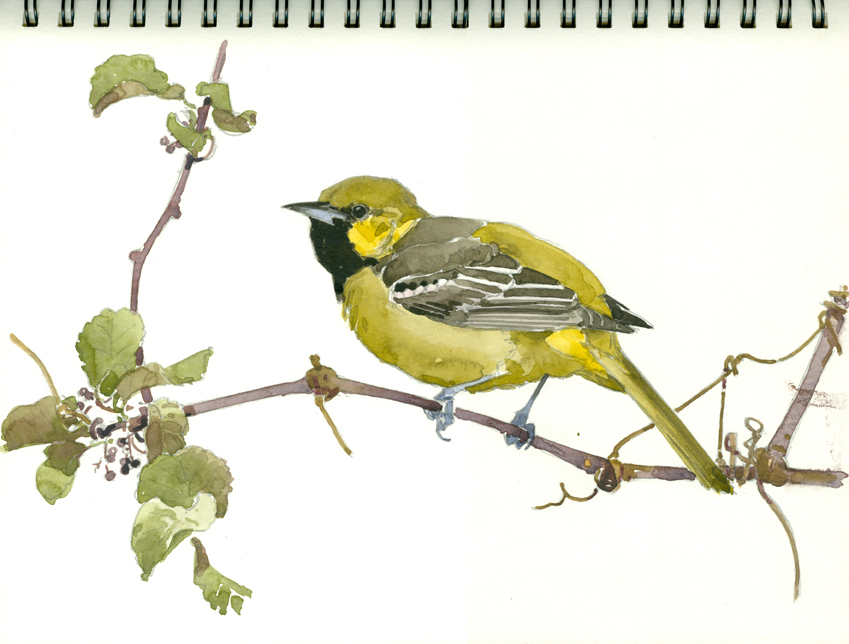 Orchard Oriole, yg male, Ashumet - at 72 dpi