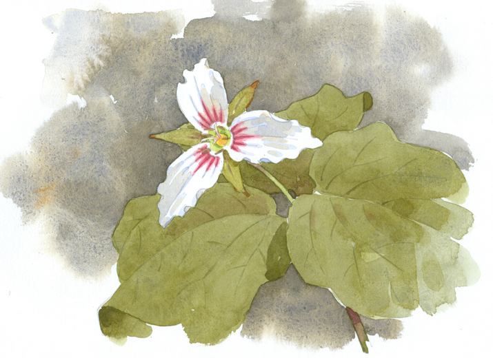Painted Trillium, High Ledges - at 72 dpi