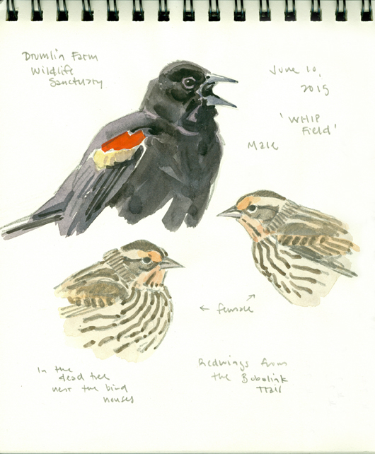 Redwing studies, Drumlin Farm - at 72 dpi