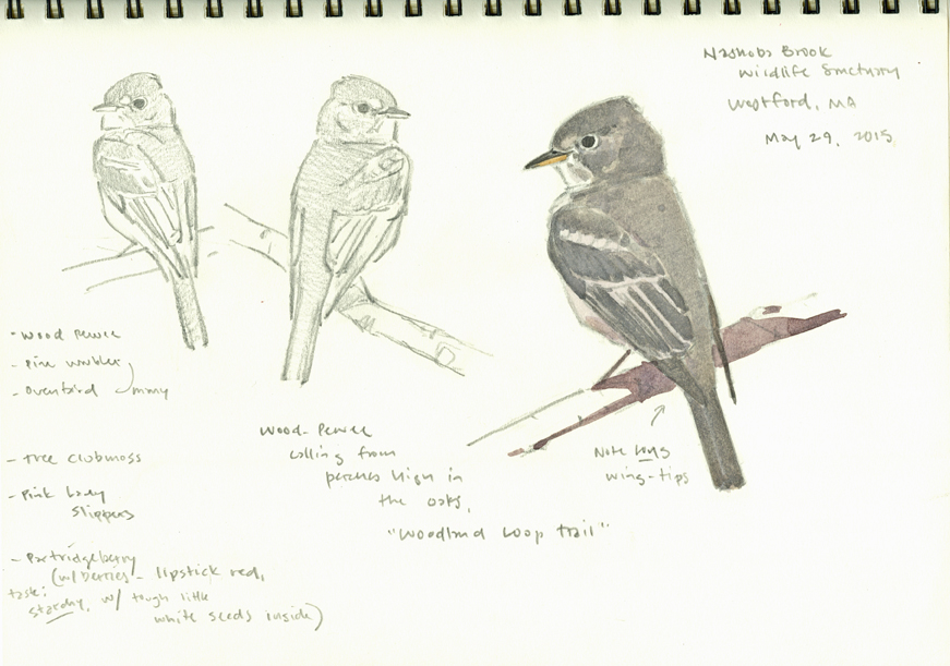 Wood Pewee studies, Nashoba Brook - at 72 dpi