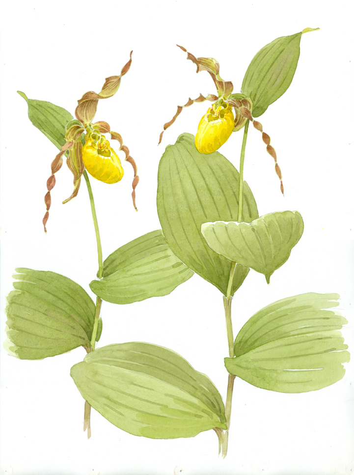 Yellow Lady's Slipper at High Ledges - at 72 dpi