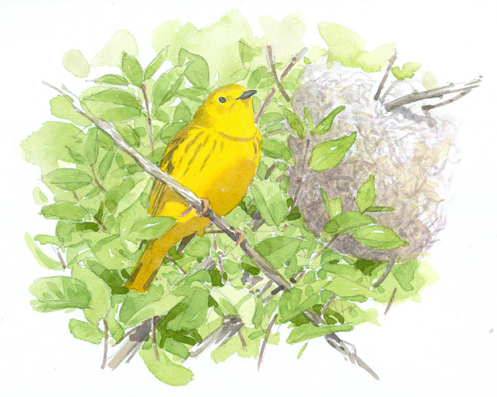 Yellow Warbler and Nest, Ashumet - at 72 dpi
