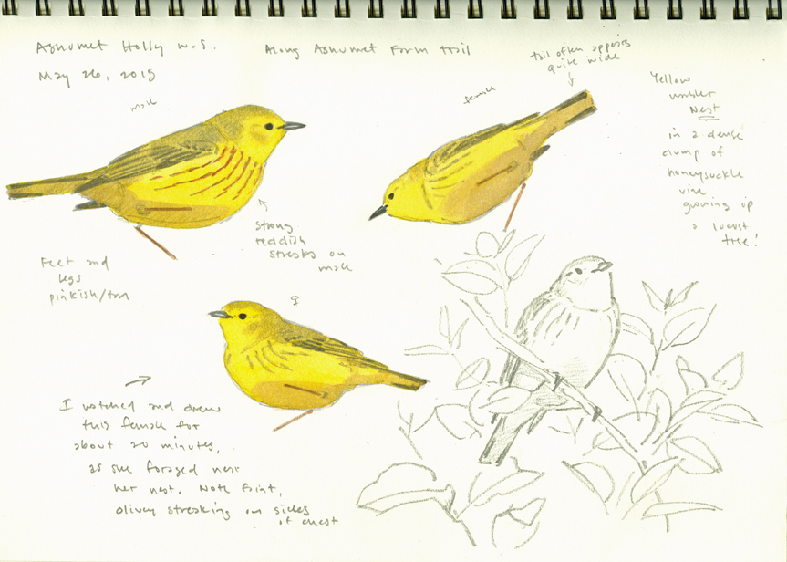 Yellow Warbler studies, Ashumet - at 72 dpi