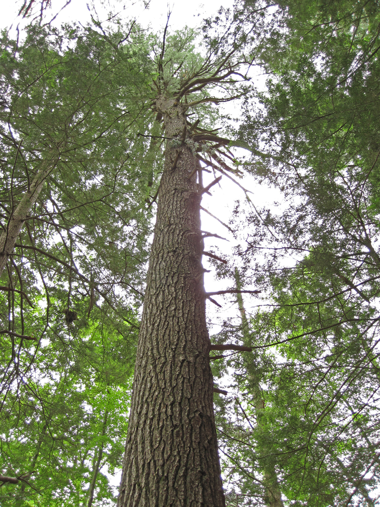 Big White Pine at Graves Farm (small)