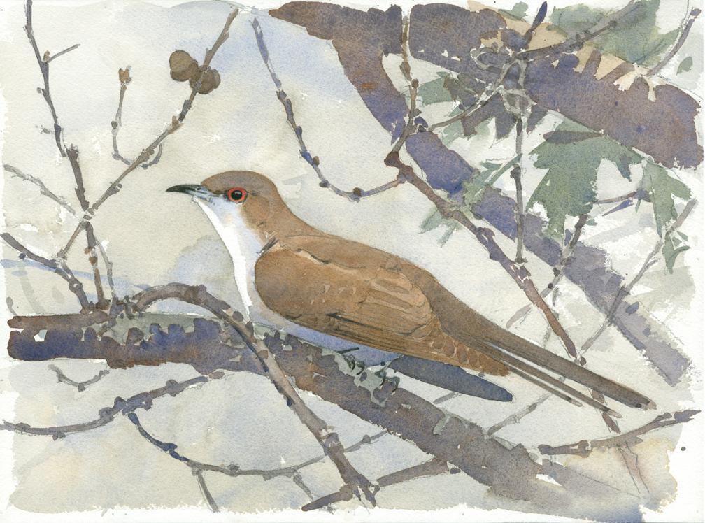 Blk-billed Cuckoo, Burncoat Pond - at 72 dpi