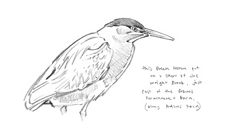 Green Heron study, Graves Farm - at 72 dpi