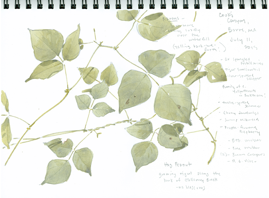 Hog Peanut sketchbook study, Cook's Canyon - at 72 dpi -