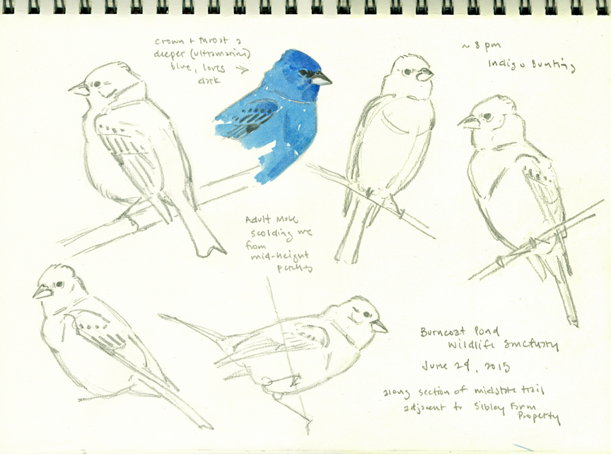 Indigo Bunting sketchbook page, Burncoat Pond - at 72 dpi