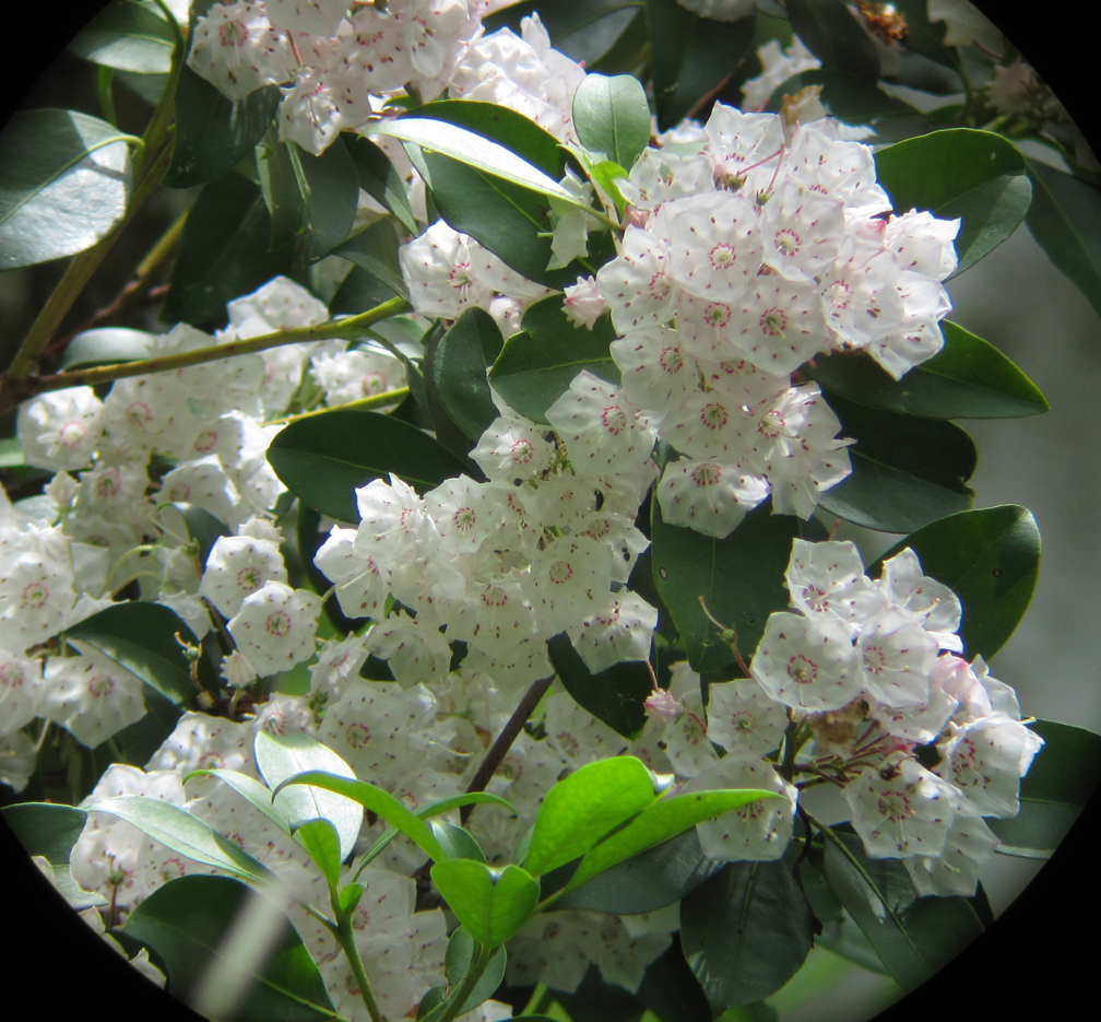 Mountain Laurel Blossoms, Flat Rock