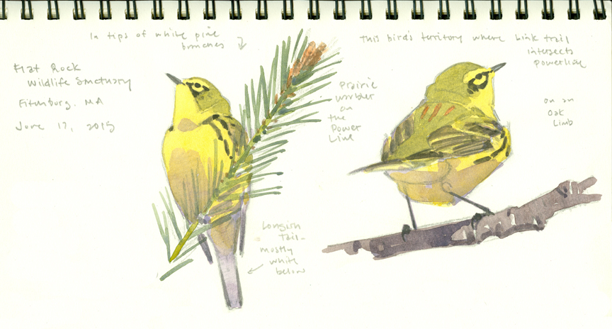 Prairie Warbler studies, Flat Rock - at 72 dpi
