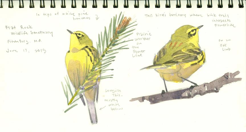 Prairie Warbler studies, Flat Rock - at 72 dpi