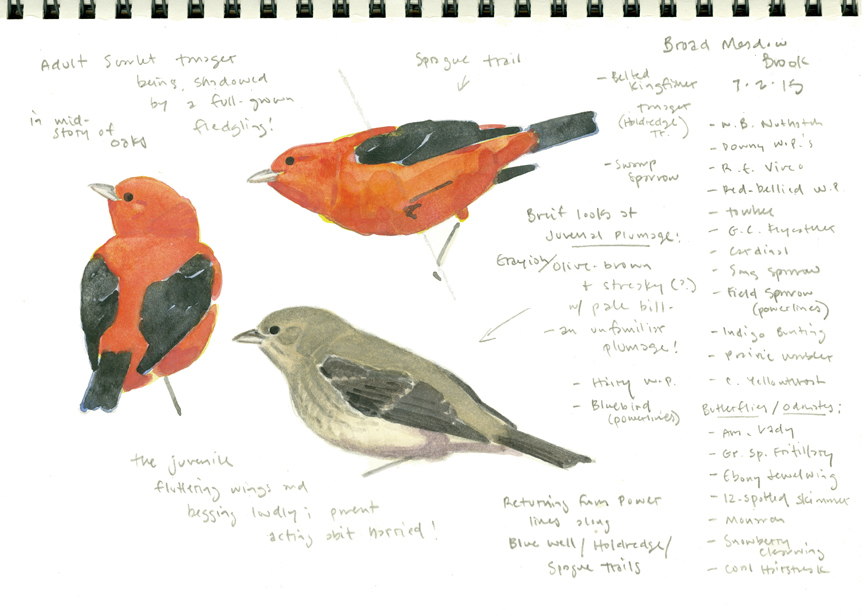 Scarlet Tanager studies 2, Broad Meadow Brook - at 72 dpi