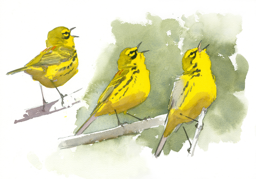 Studies of a Prairie Warbler in Song, Flat Rock - at 72 dpi