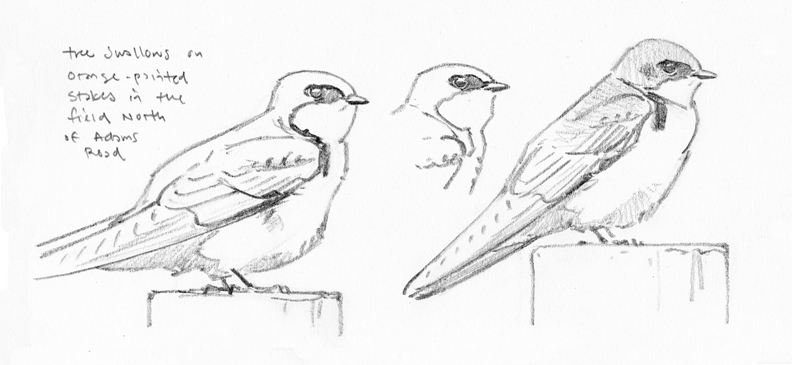 Tree Swallow studies, Graves Farm - at 72 dpi