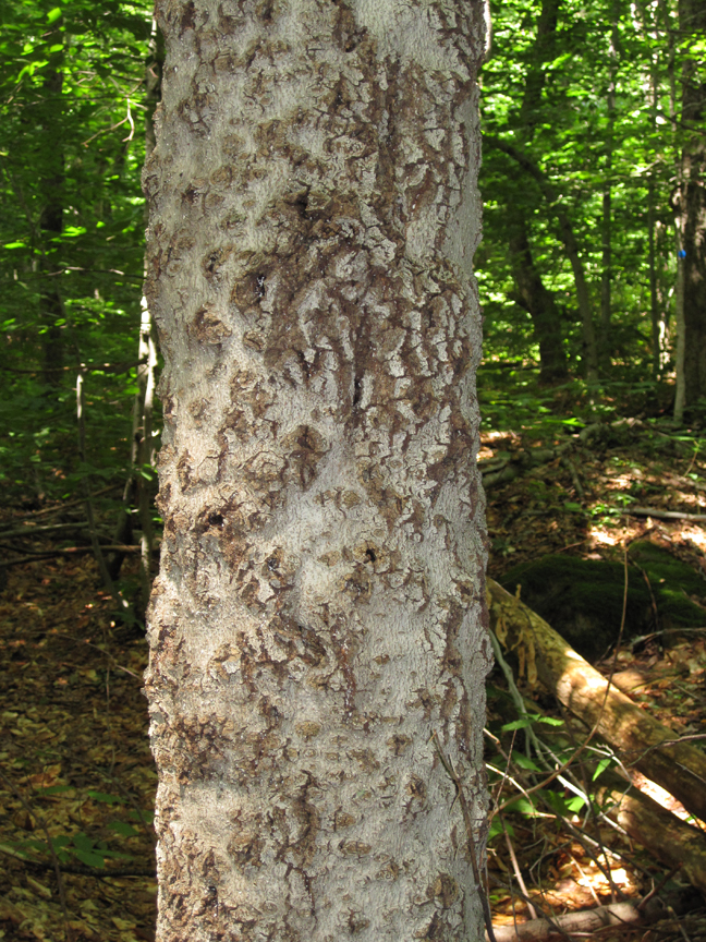 Beech Bark Disease - West Mountain (small)