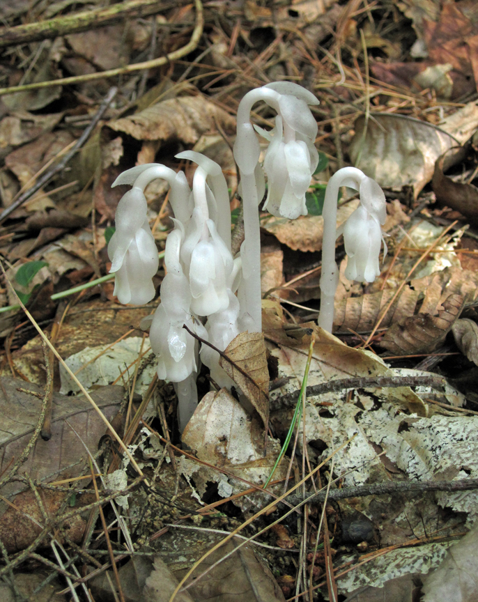 Indian Pipes at Conway Hills (small)