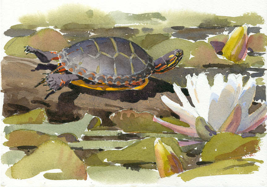 Painted Turtle, Stony Brook - at 72 dpi