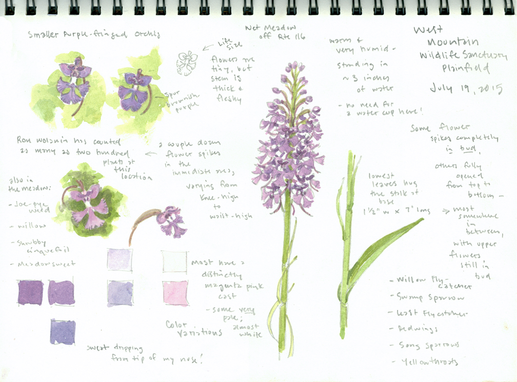 Purple-fringed Orchis sketchbook page - West Mtn - at 72 dpi
