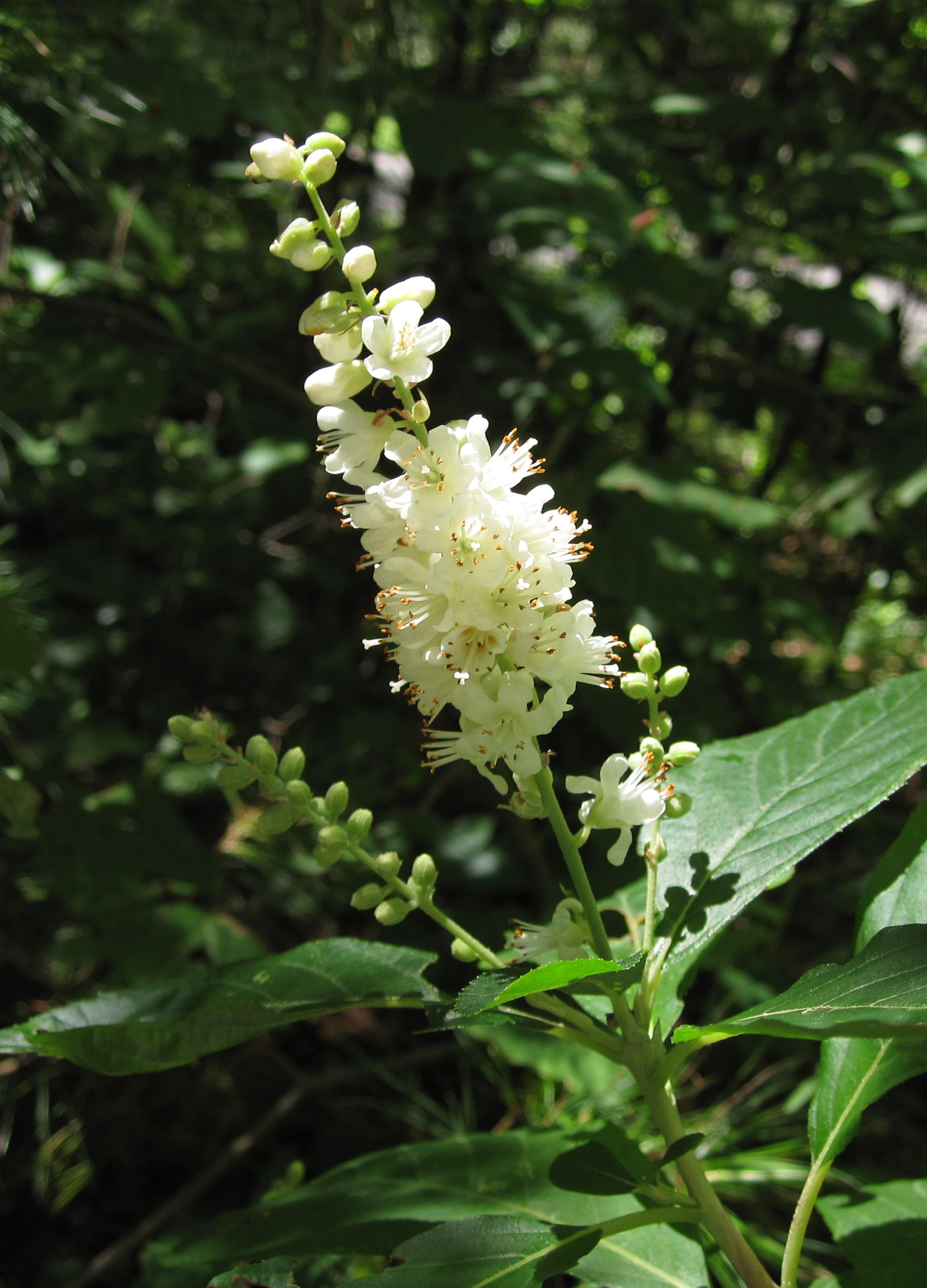 Sweet Pepperbush at Waseeka