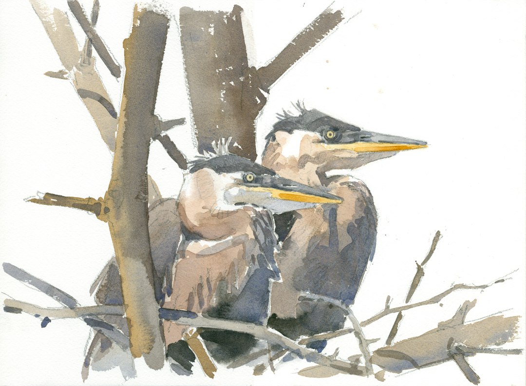 Young Herons, Conway Hills - at 72 dpi