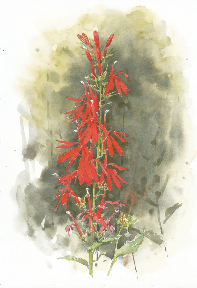 Cardinal Flower at Barnstable Gr Marsh 4 - at 72 dpi