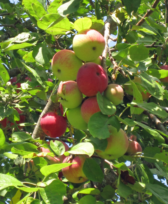 Ripe Apples at Long Pasture (small)