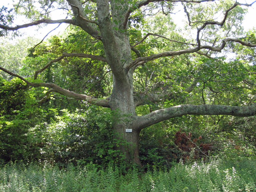 Scarlet Oak at Long Pasture (small)