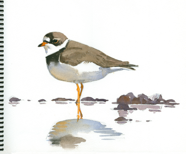 Semi-palmated Plover at Long Pasture - at 72 dpi