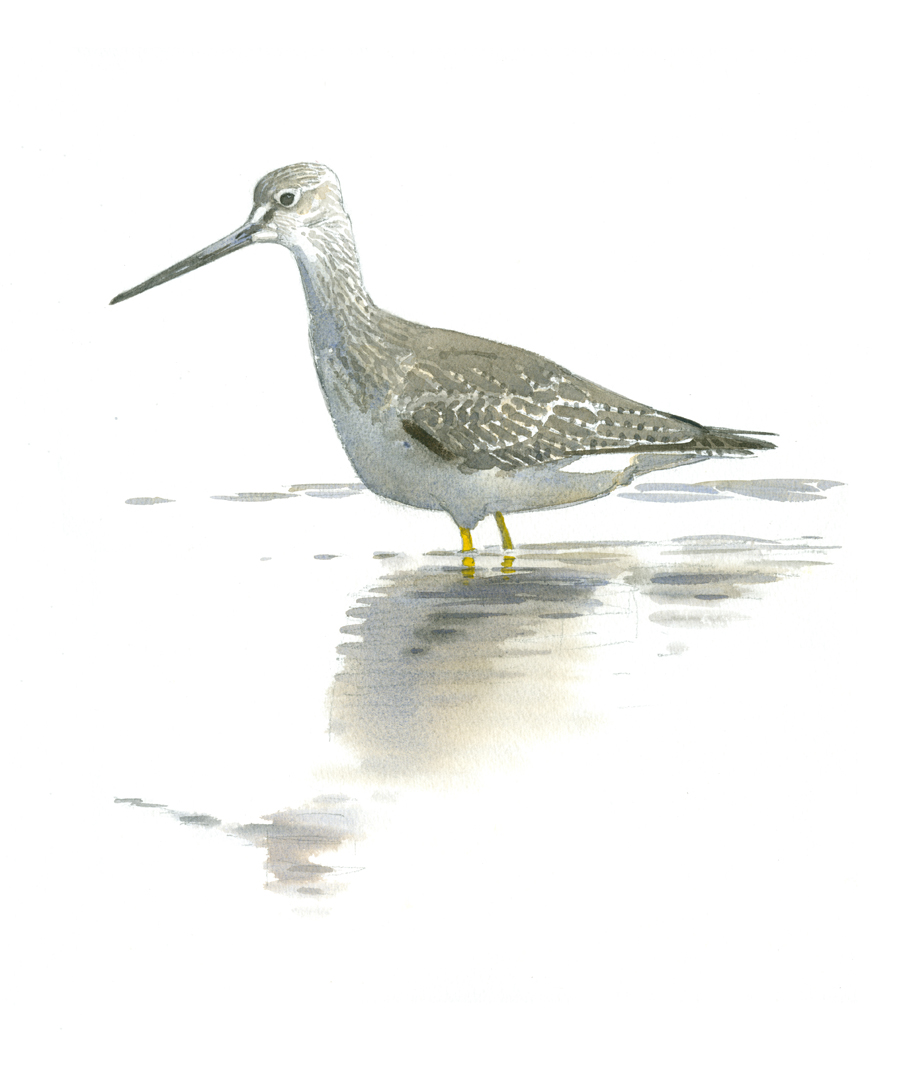 Greater Yellowlegs - at 72 dpi
