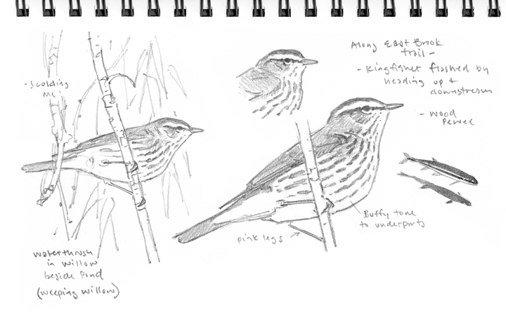 Northern Waterthrush Studies - at 72 dpi