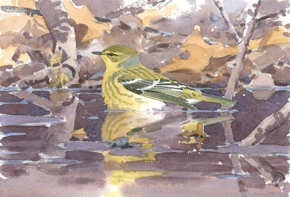 Blackpoll Warbler Bathing in Vernal Pool - at 72 dpi
