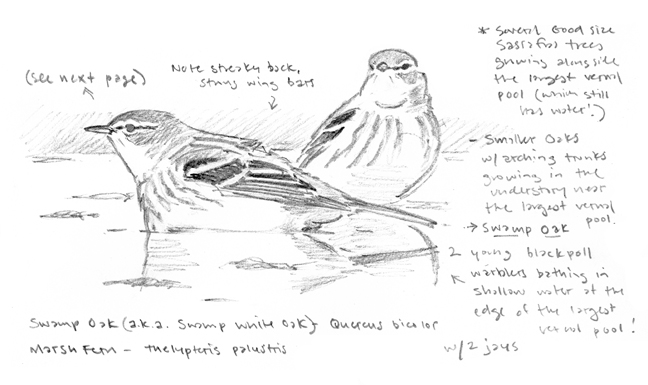 Blackpoll Warblers in Vernal Pool sketch - at 72 dpi