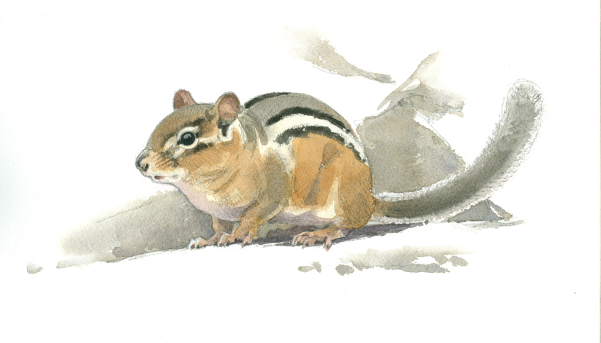 Chipmunk, Lincoln Woods - at 72 dpi