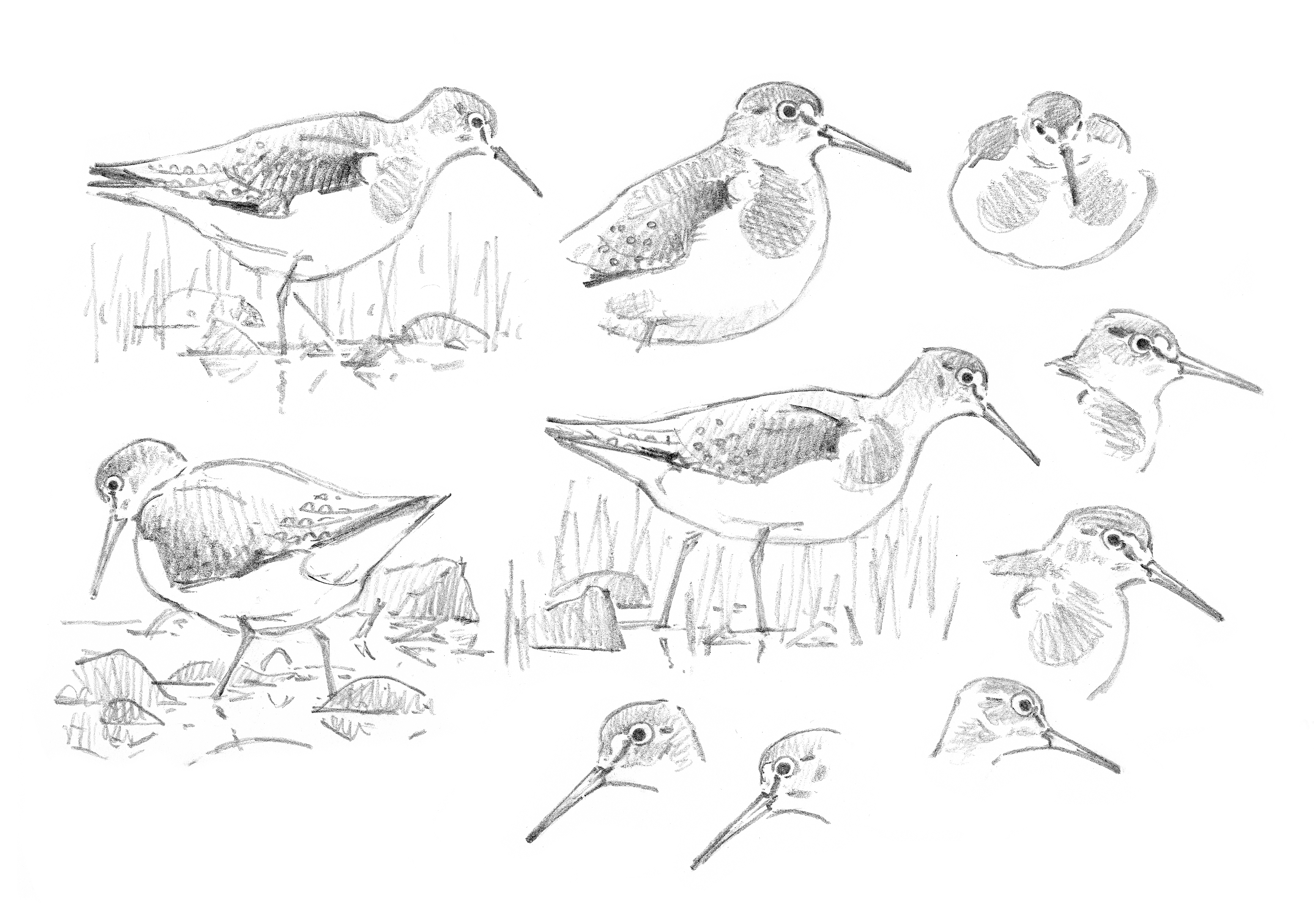 Solitary Sandpiper sketchbook studies - at 300 dpi