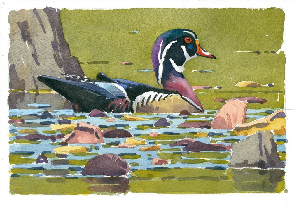 Wood Duck Drake (color correc) - at 72 dpi