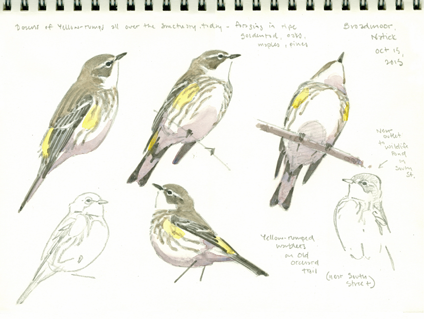 Yellow-rump Studies, Broadmoor - at 72 dpi
