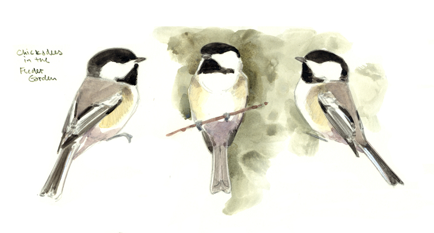 Chickadee Studies - at 72 dpi