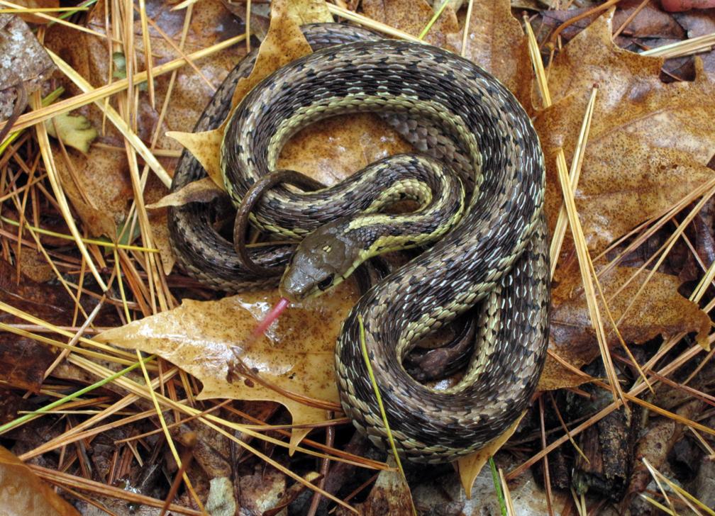 Garter Snake - at 72 dpi