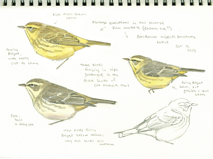 Palm Warbler studies, Broadmoor - at 72 dpi