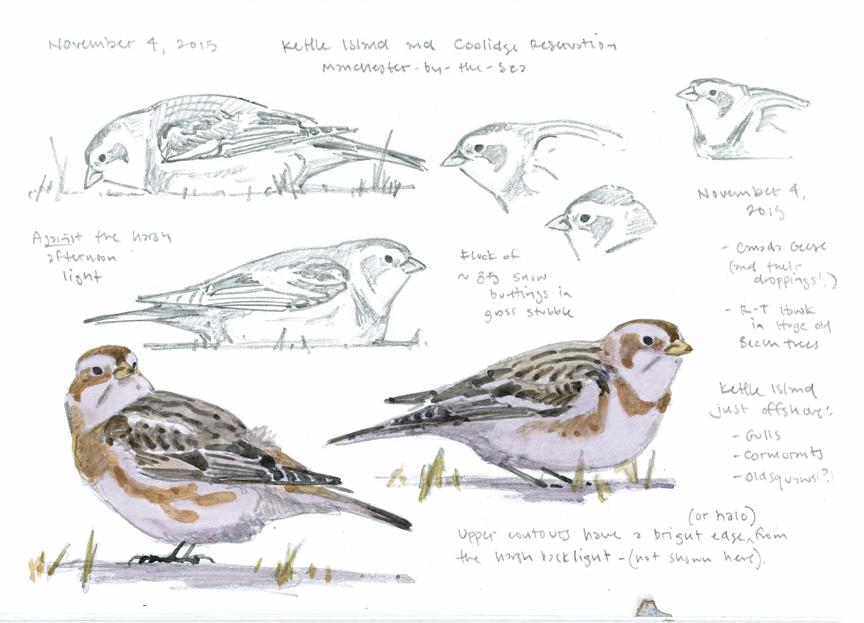 Snow Buntings - sketchbook page - at 72 dpi