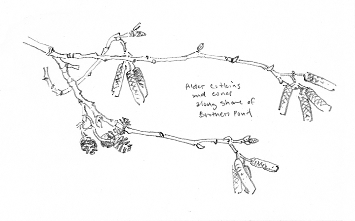 Alder Twigs, Attleboro Springs - at 72 dpi