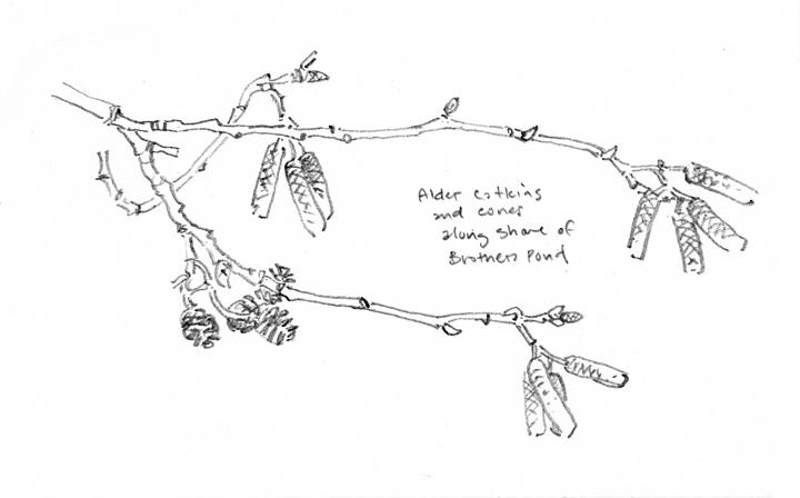 Alder Twigs, Attleboro Springs - at 72 dpi